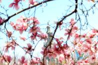 Magnolias with church in the back