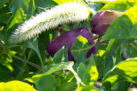 Closeup of vegetables on plants in the White Violet Center gardens
