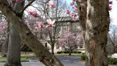 Magnolia blooms around the fountain circle
